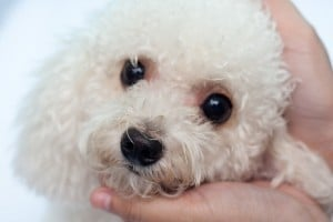 Home Alternatives to Tylan Powder For Treating Dog Tear Stains