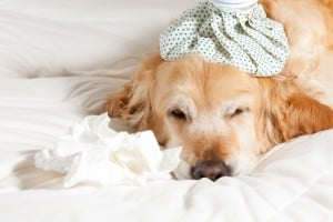 Tylan Powder Treatment for Dogs with Diarrhea - Indications and Contraindications